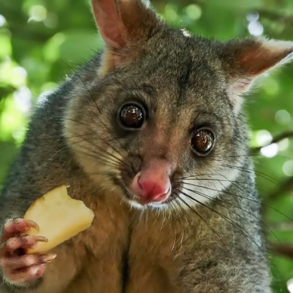 Brushtail-possum-AOTM